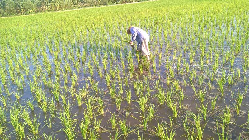 برنج طارم استخوانی برنج مرغوب ایرانی